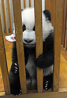Wen Li and Ya Li  at the Chengdu Giant Panda Breeding and Research Base in Chengdu, China. Dec 2009.  The twins were born to their mother, Li Li, who is 19 years old, and her first babies. .