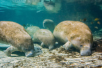 Florida Manatee (Trichechus manatus latirostris) Congregate en masse in the Three Sisters sanctuary located in Crystal River, Florida. A subspecies of the West Indian Manatee.
