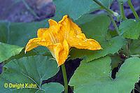 HS24-558z  Pumpkin male flower