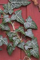 Gewöhnlicher Efeu, Blatt, Blätter, Hedera helix, Common Ivy, Lierre grimpant