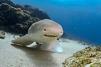 Leopard Shark or Zebra Shark, Stegostoma fasciatum, North Stradbroke Island, Brisbane, Queensland, Australia, South Pacific Ocean
