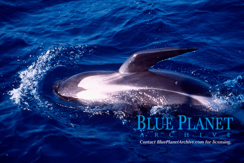 long-finned pilot whale, Globicephala melas, at the surface, showing pattern on underside of belly, Ligurian Sea, Italy, Mediterranean