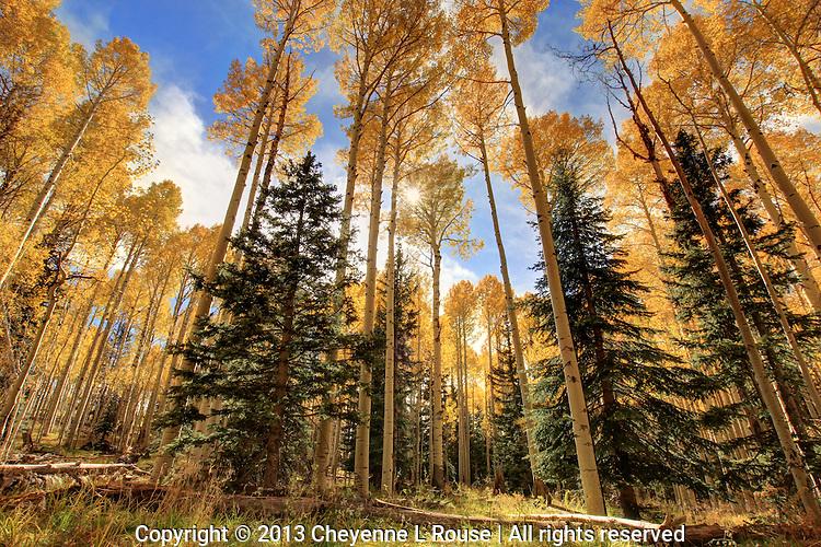 October Gold - Arizona - Flagstaff - Fall - Autumn