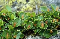 Krautige Weide, Kraut-Weide, Krautweide, Weide, Salix herbacea, Früchte, Dwarf Willow