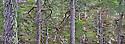 Scots Pines {Pinus sylvestris}, Glen Affric, Caledonian Forest Reserve, Scotland, UK , November. Digitally Stitched Panorama.