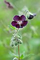 Geranium phaeum 'Mourning Widow', mid May.