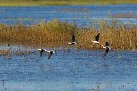 Black-necked Stilts (Himantopus mexicanus).  Fall.