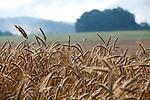 Europa, DEU, Deutschland, Hessen, Landkreis Fulda, Fulda, Luedermuend, Morgenstimmung, Dunst, Agrarlandschaft, Getreide, Kornaehren, Sommer, Kategorien und Themen, Landwirtschaft, Landwirtschaftlich, Agrar, Agrarwirtschaft, Natur, Naturfoto, Naturfotos, Naturfotografie, Naturphoto, Naturphotographie, Landschaft, Landschaften, Landschaftsfoto, Landschaftsfotografie, Landschaftsphoto, Landschaftsphotographie<br /> <br /> [Fuer die Nutzung gelten die jeweils gueltigen Allgemeinen Liefer-und Geschaeftsbedingungen. Nutzung nur gegen Verwendungsmeldung und Nachweis. Download der AGB unter http://www.image-box.com oder werden auf Anfrage zugesendet. Freigabe ist vorher erforderlich. Jede Nutzung des Fotos ist honorarpflichtig gemaess derzeit gueltiger MFM Liste - Kontakt, Uwe Schmid-Fotografie, Duisburg, Tel. (+49).2065.677997, ..archiv@image-box.com, www.image-box.com]