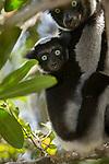 Female Indri (Indri indri) with 5 month old infant. Andasibe-Mantadia NP, Madagascar.