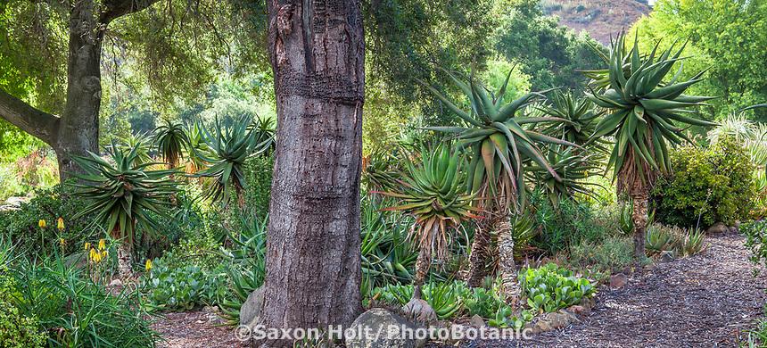 South African Aloe under California LIve Oak tree in Taft Gardens; Ojai, California