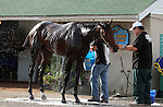 LOUISVILLE, KY - APRIL 25: Mo Tom (Uncle Mo x Caroni, by Rubiano) is bathed in front of his barn at Churchill Downs, Louisville KY after galloping in preparation for the Kentucky Derby. Owner G M B Racing, trainer Thomas A. Amoss. (Photo by Mary M. Meek/Eclipse Sportswire/Getty Images)