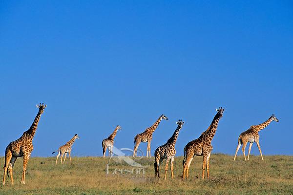Masai giraffe (Giraffa camelopardalis) herd.  Serengeti National Park, Tanzania.