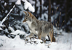 A coyote in the snow in Yellowstone National Park.  A coyote pauses in its winter hunt to listen for prey under the snow in Yellowstone National Park, Wyoming.