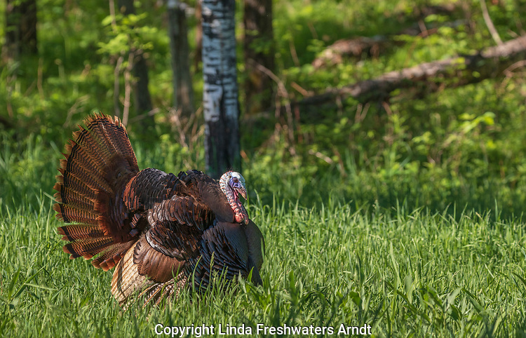 Tom turkey strutting in northern Wisconsin.