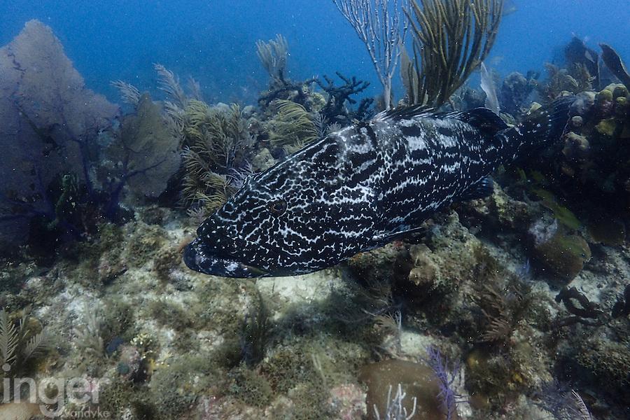 Black Grouper at Jardines de la Reina, Cuba