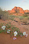 White primose (Oenothera coronopifolia) blooms in South Coyote Buttes at pre-dawn.