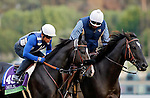 ARCADIA, CA - OCT 31: Midnight Storm, owned by Venneri Racing Inc. & Little Red Feather Racing and trained by Philip D'Amato, exercises in preparation for the Breeders' Cup Mile at Santa Anita Park on October 31, 2016 in Arcadia, California. (Photo by Zoe Metz/Eclipse Sportswire/Breeders Cup)