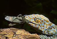 GK09-004c  Tokay Gecko with prey - Note sharp teeth - Gekko gecko.