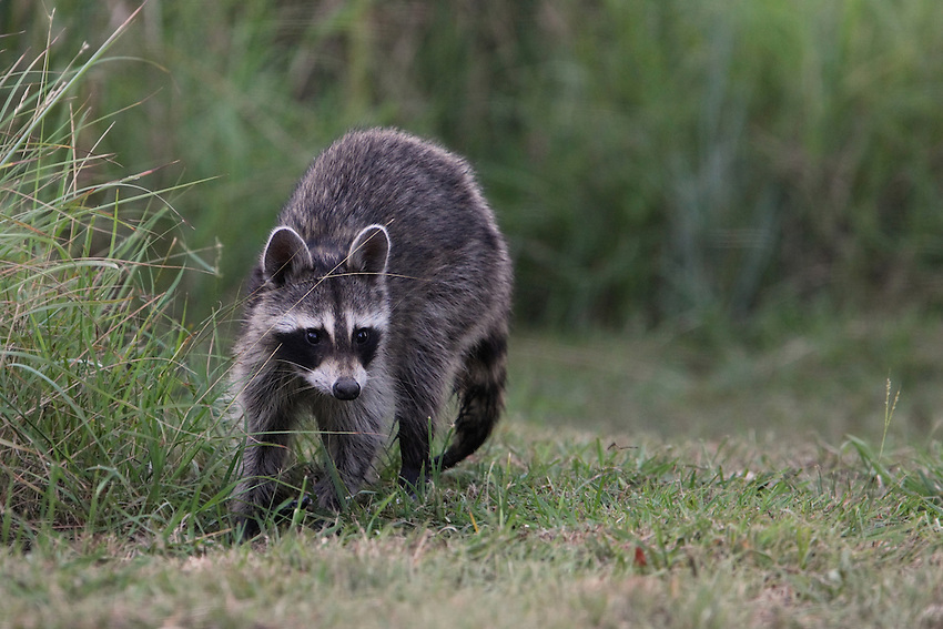 """Texas Raccoon, late evening. Known as the backyard """"bandit"""" that's easy to spot with its black facemask and bushy, ringed tail. These animals are nocturnal."""