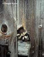 MA25-281z   Raccoon - investigating a barn - Procyon lotor