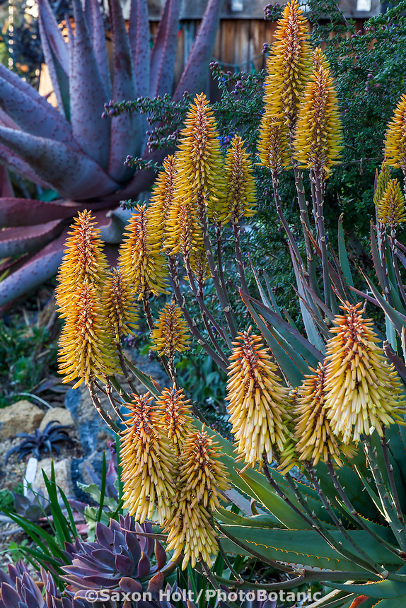 Aloe 'Moonglow' flowering succulent in <br /> Gerhard Bock garden