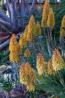 Aloe 'Moonglow' flowering succulent in <br /> Gerhard Bock garden