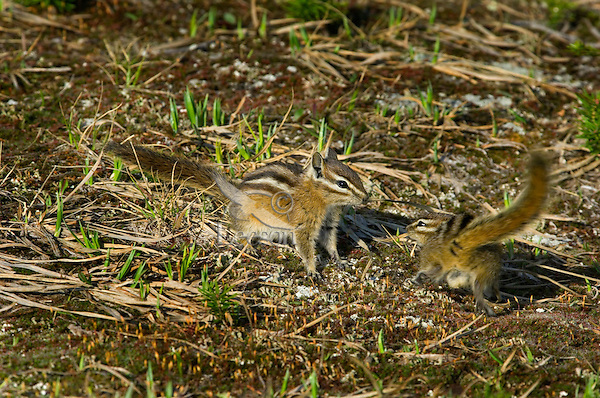 Yellow-pine Chipmunks (Tamias amoenus)