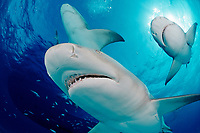 Lemon Sharks, Negaprion brevirostris, Bahamas, Grand Bahama Island, Caribbean, Atlantic