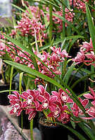 Blooming CYMBIDIUM ORCHIDS at ARMACOST & ROYSTON ORCHID FARM - SANTA BARBARA, CALIFORNIA