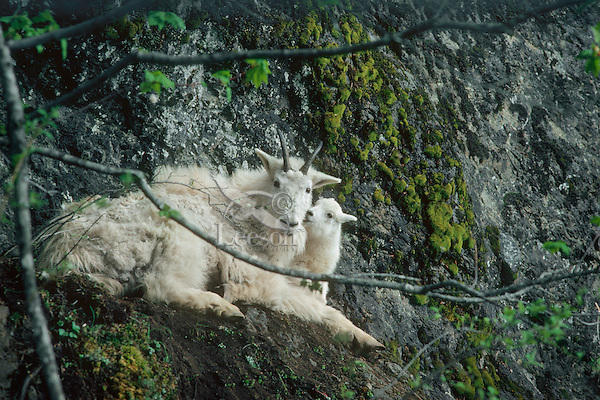 Mountain goat (Oreamnos americanus) nanny and kid, Pacific N.W.