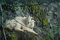 Mountain goat (Oreamnos americanus) nanny and kid, Pacific N.W.