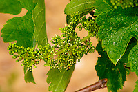 A bunch of grapes with flower buds and some flowers on a Merlot vine Chateau Bouscaut Cru Classe Cadaujac Graves Pessac Leognan Bordeaux Gironde Aquitaine France