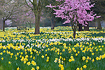 Great Britain, England, Greater London, Hampton: Daffodils and Blossom in Spring | Grossbritannien, England, Greater London, Hampton: Fruehlingsblumen und Obstbluete