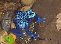 0929-07qq  Dendrobates azureus - Blue Poison Arrow Frog ñ Blue Dart Frog  © David Kuhn/Dwight Kuhn Photography
