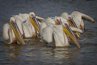 Great White Pelicans feeding at Djoudj in north western Senegal