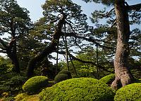 Pine trees growing at the famous landscape garden at Kenrokuen, Kanazawa.