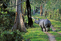 Asian One-horned rhinoceros.  India.