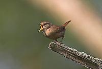 Zaunkönig, singend, Zaun-König, Troglodytes troglodytes, Wren, Troglodyte mignon