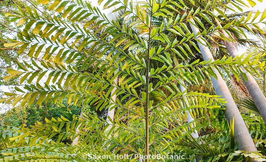 Thai Mountain Giant Fishtail Palm, Caryota obtusa (aka. C. gigas)  tree leaf tapestry at entry to Worth Garden, California, looking up vantage point with trunks of king palms (Archontophoenix cunninghamiana)