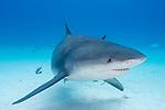 Tiger Beach, Grand Bahama Island, Bahamas; a bull shark swimming over the shallow sandy bottom