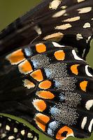 Black Swallowtail Butterfly Wings