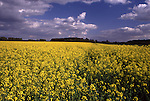 DEU, Deutschland, Nordrhein Westfalen, Niederrhein, Voerde, Bluehendes Rapsfeld im Fruehling, Cumuluswolken, Brassica napus var. napus, Pflanzenoele bilden den Ausgangsstoff fuer Biodiesel. Wichtigste Oelpflanze stellt in Deutschland der Raps dar. Grundsaetzlich koennen aber auch andere Oelpflanzen wie Sonnenblumen und Sojabohnen fuer die Herstellung von Biodiesel eingesetzt werden. Nach der Ernte wird die Rapssaat in Oelmuehlen zu Rapsoel gepresst. Je Hektar koennen ca. 1.500 Liter Pflanzenoel produziert werden. Der anfallende Rapsschrot geht als Eiweißlieferant in die Futtermittelindustrie. Im Gegensatz zu herkoemmlichen Dieselkraftstoffen enthaelt Biodiesel keinen Schwefel und ist biologisch schnell abbaubar...[Fuer die Nutzung gelten die jeweils gueltigen Allgemeinen Liefer-und Geschaeftsbedingungen. Nutzung nur gegen Verwendungsmeldung und Nachweis. Download der AGB unter http://www.image-box.com oder werden auf Anfrage zugesendet. Freigabe ist vorher erforderlich. Jede Nutzung des Fotos ist honorarpflichtig gemaess derzeit gueltiger MFM Liste - Kontakt, Uwe Schmid-Fotografie, Duisburg, Tel. (+49).2065.677997, fotofinder@image-box.com, www.image-box.com]
