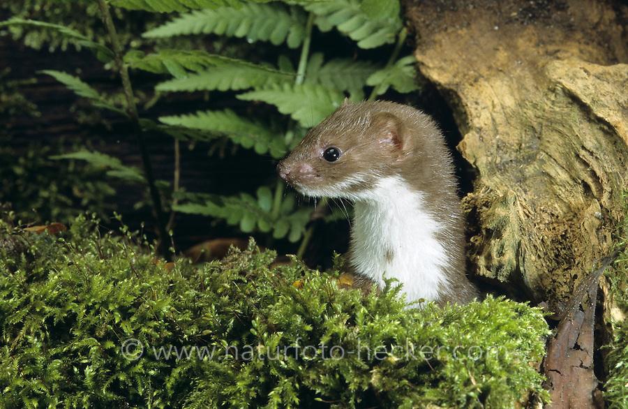 Mauswiesel, Portrait, Maus-Wiesel, Kleines Wiesel, Marder, Mustela nivalis, least weasel