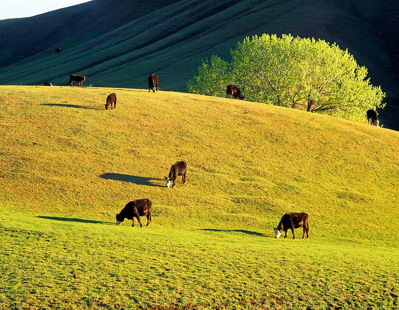 Cows grazing on hillside near Williams, California