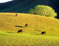 Cows grazing on hillside near Williams, California