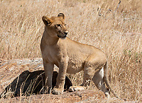 Lion cub, Panthera leo melanochaita, in Serengeti National Park, Tanzania