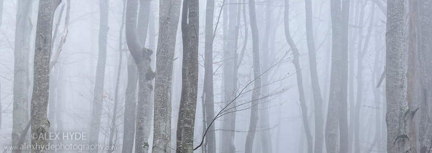 Beech woodland {Fagus sylvatica} in thick fog, Plitvice Lakes National Park, Croatia. November. Digitally stitched panorama.