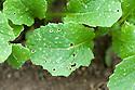 Holes eaten in the leaves of young turnip seedlings by flea beetles, early June.