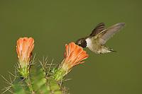 Black-chinned Hummingbird, Archilochus alexandri, male in flight feeding on Claret Cup Cactus (Echinocereus triglochidiatus), Uvalde County, Hill Country, Texas, USA, April 2006