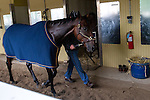 JUNE 5, 2015: American Pharoah, trained by Bob Baffert, walks in the barn after morning workouts in preparation for the 147th running of the Belmont Stakes at Belmont Park in New York, NY. Jon Durr/ESW/CSM